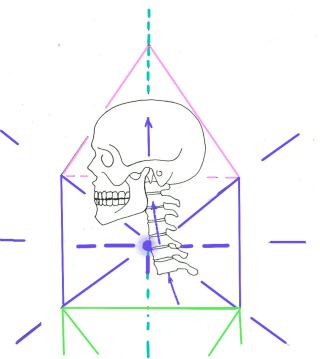 Skull with cervical vertebrae